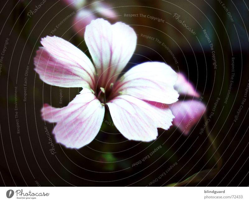 Shining In The Dark Blüte Blume Pflanze violett zart zerbrechlich Trichter verwundbar sensibel dunkel Erholung mehrfarbig schön Sommer rosa Licht poetisch