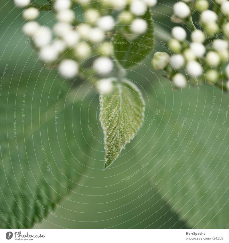 Nachwuchs Natur Pflanze Sträucher Blatt Blüte Grünpflanze schön klein natürlich neu niedlich weich grün weiß Blütenknospen Blattadern Blattgrün Blattfaser