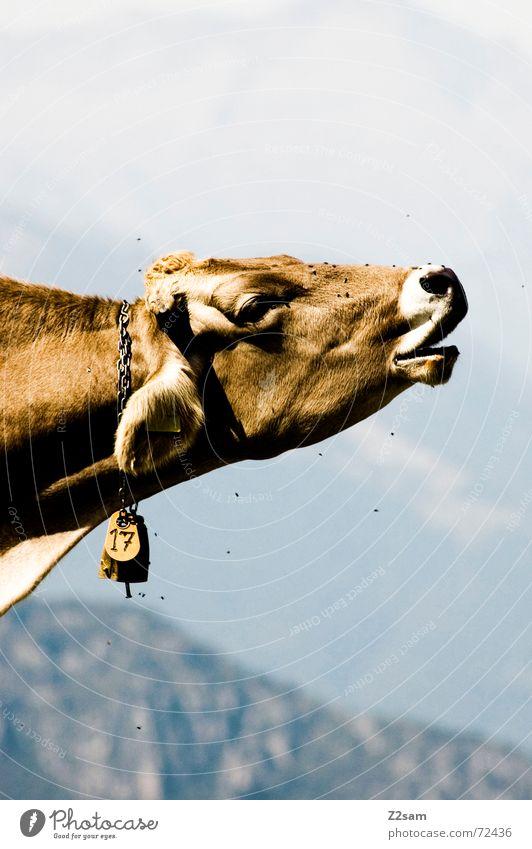 Kuh 17 muhen Tier Glocke Defensive Fell Italien Laute Wiese animal cow schreien Berge u. Gebirge