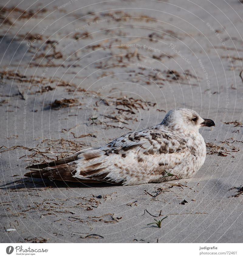 Gut getarnt Meer Strand ruhig Erholung See Sand braun Vogel Küste sitzen Feder Gelassenheit verstecken Ostsee Möwe