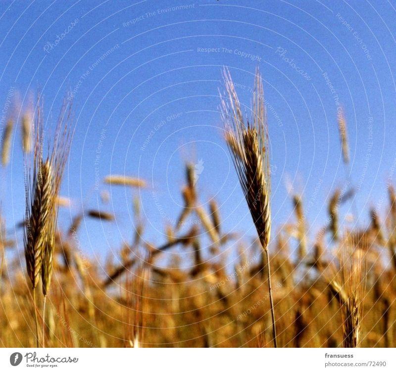 brot fürs volk Himmel blau Sommer Erholung gelb Feld Getreide Weizen Gerste Roggen Mehl