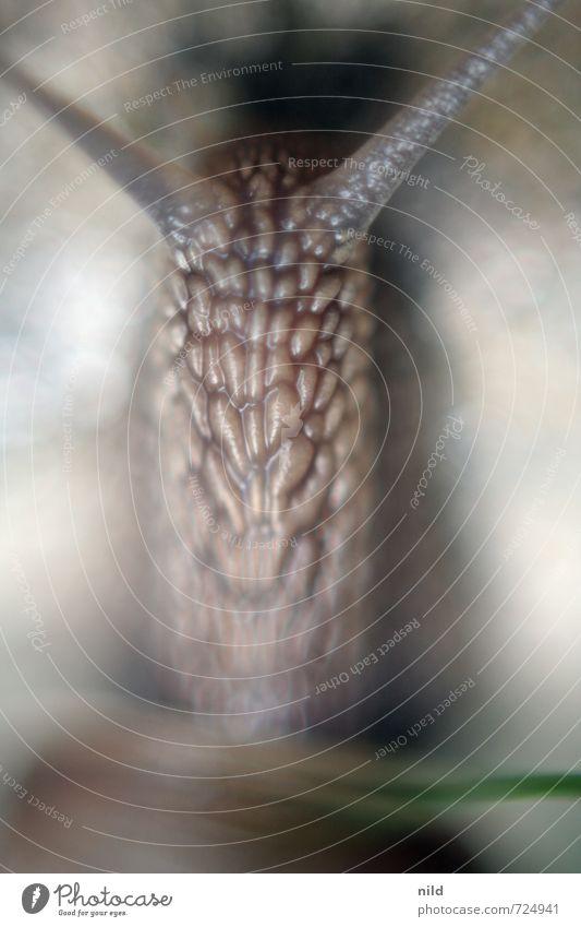 Einzelgänger | Lange Gerade Umwelt Natur Pflanze Tier Garten Park Wiese Schnecke Weinbergschnecken 1 Bewegung tragen klein braun grau krabbeln Glätte schleimig