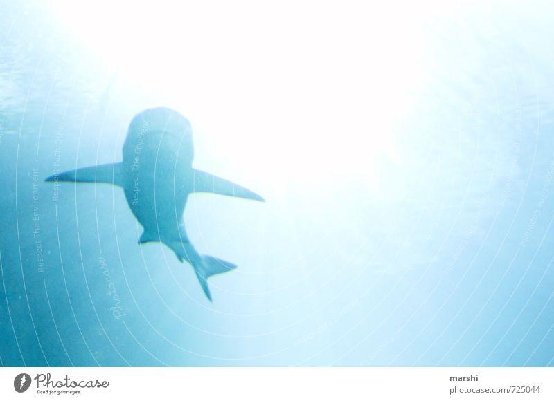 sharky sharky Tier Wildtier Aquarium 1 blau Gefühle Haifisch Schatten Gegenlicht Landraubtier Wasser Meer tauchen bedrohlich gefährlich Schnorcheln