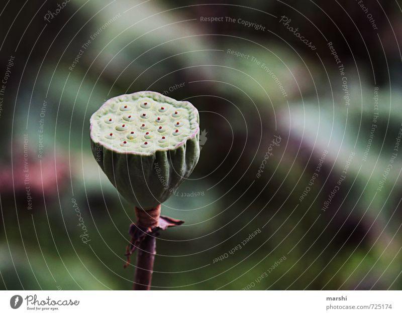 Natur-Duschkopf Pflanze Blume grün Seerosen Blattknospe Seeufer Farbfoto Außenaufnahme Nahaufnahme Detailaufnahme Makroaufnahme