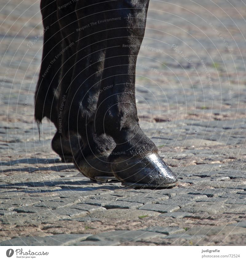 Pferde Huf Hufeisen Fell glänzend Kopfsteinpflaster schwarz Tier Säugetier Unpaarhufer Fuß Schatten Stein Pflastersteine Rappe