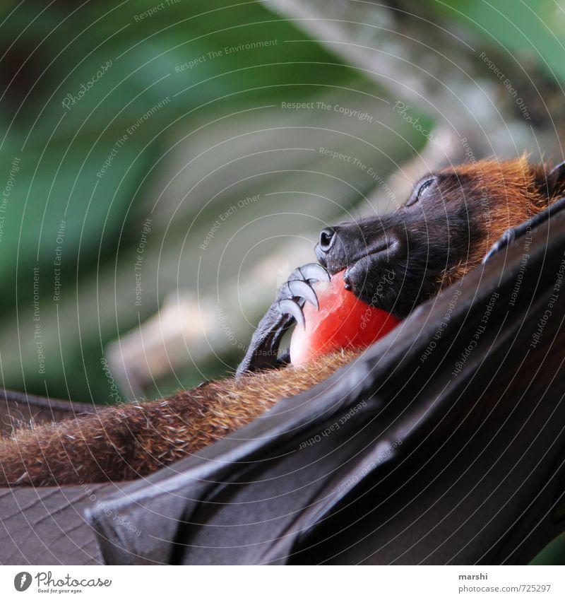 mein Schaaaaatz Natur Tier Gefühle Wildtier Flügel unheimlich Krallen Bali Fledermäuse Flughunde