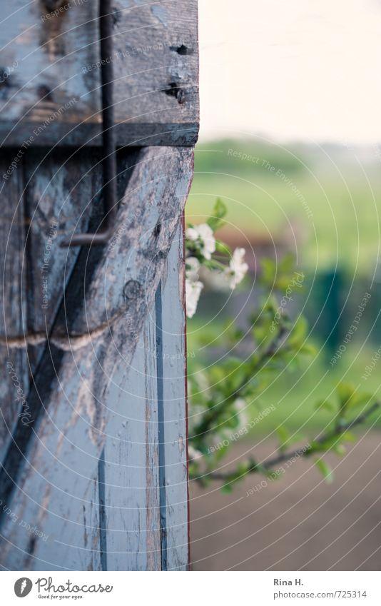 Blick in den Garten Horizont Frühling Blüte Tür authentisch grün Holztür Kirschblüten verfallen Landleben Farbfoto Außenaufnahme Menschenleer Textfreiraum oben