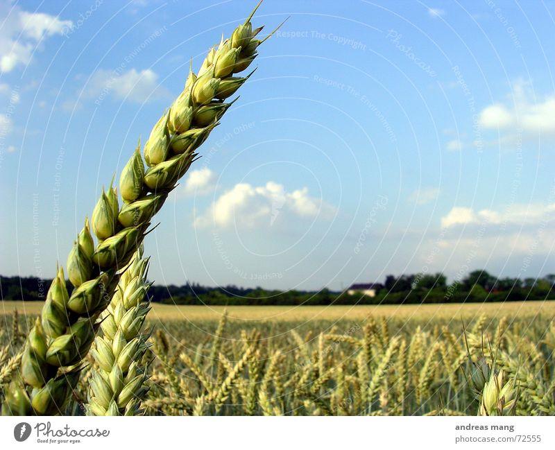 Die Ernte ist groß, doch der Arbeiter sind wenig... Ähren Weizen Feld Himmel einzeln Einsamkeit Natur Wolken field wheat Landschaft landscape sky blau blue Korn