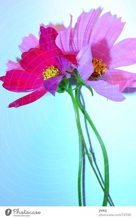Cosmea Blume Schmuckkörbchen Sommer rosa Blüte Pflanze Tisch Untergrund Unterlage grün Blütenblatt Schlagschatten Licht Stengel gelb schön zart weich Natur blau