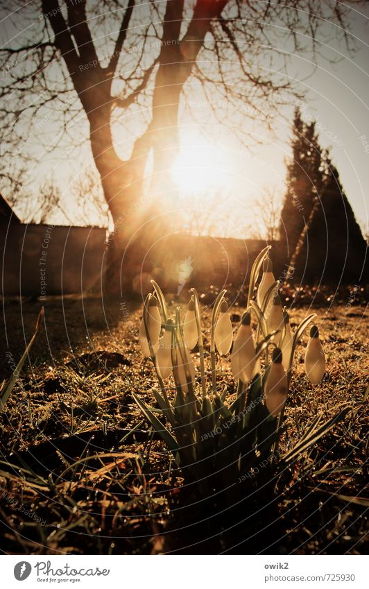 Frühlingsflora Umwelt Natur Pflanze Wolkenloser Himmel Klima Wetter Schönes Wetter Baum Blume Gras Blüte Schneeglöckchen Garten Blühend glänzend leuchten
