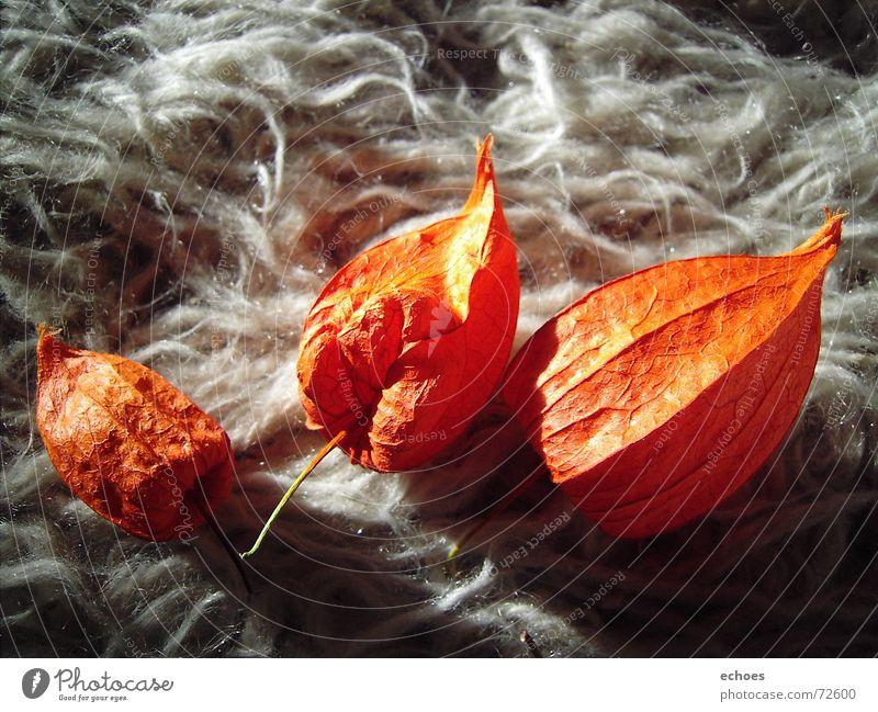 vermisster Traum Blume Lampionblume gelb weiß weich Teppich träumen 3 geheimnisvoll vermissen Wolle Blüte Pflanze orange hell Schatten Lampe Nahaufnahme