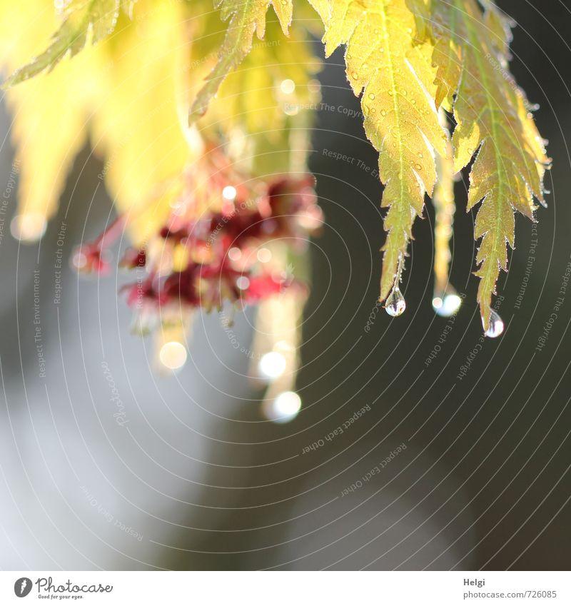 Morgennebeltautropfen... Umwelt Natur Pflanze Wassertropfen Frühling Sträucher Blatt Blüte Ahorn Ahornblatt Garten glänzend hängen leuchten Wachstum ästhetisch