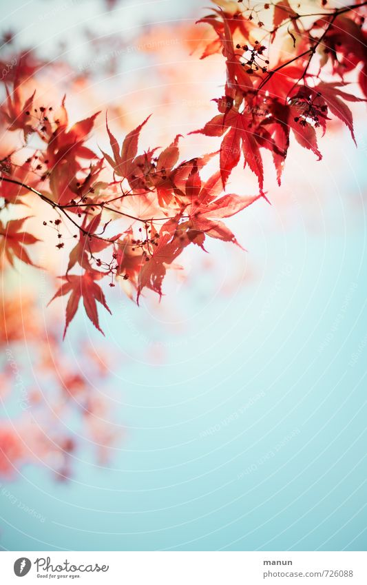 romantic spring Natur Pflanze Sommer rot Blatt Herbst Frühling Blüte natürlich türkis Leichtigkeit Ahornblatt Frühlingsgefühle Ahornzweig