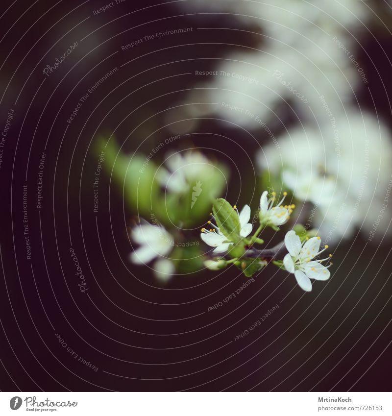 zart. Natur weiß Pflanze Baum Blatt Wald Umwelt Leben Frühling Blüte Garten Park Wachstum Schönes Wetter Wandel & Veränderung Blühend