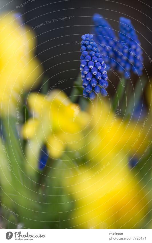 blau - gelb Pflanze Frühling Blume Narzissen Traubenhyazinthe Garten Blühend Erholung verblüht Wachstum braun grün Lebensfreude Frühlingsgefühle ruhig
