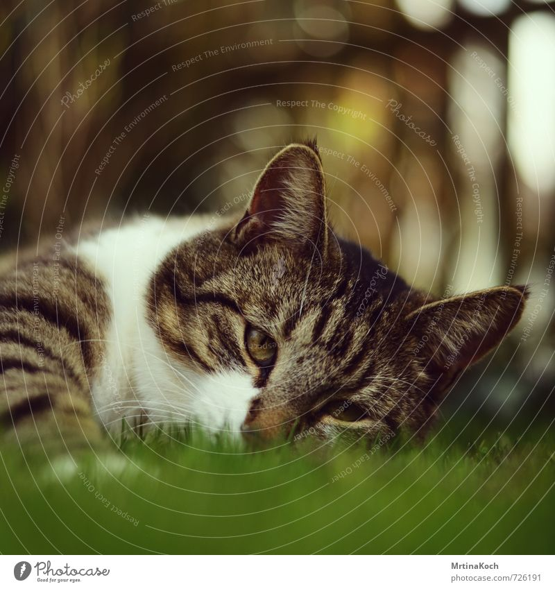 schlaumeier. Umwelt Natur Frühling Sommer Schönes Wetter Gras Garten Wiese Tier Haustier Katze 1 ästhetisch intensiv liegen Schnurren Katzenauge Katzenohr