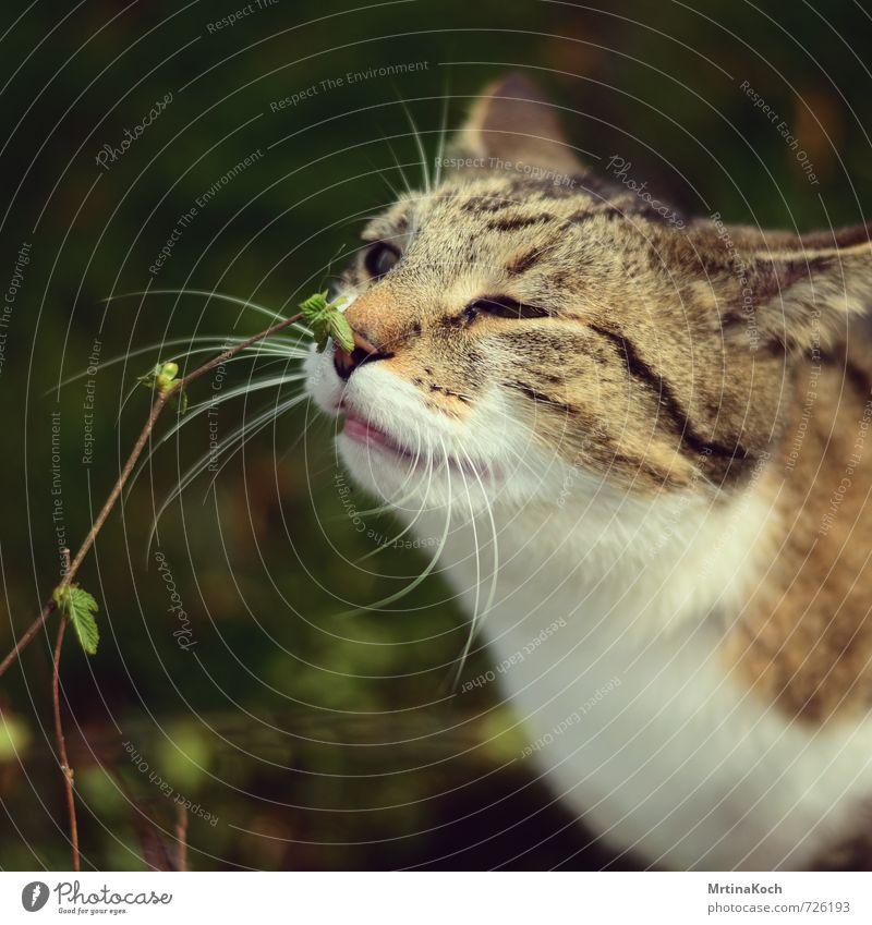ich rieche den frühling. Katze Natur Pflanze ruhig Freude Tier Frühling Glück Neugier Vertrauen entdecken Wachsamkeit Haustier Hauskatze Interesse Optimismus