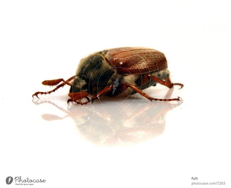 maikäfer Natur weiß Auge Tier Haare & Frisuren Beine braun Verkehr Bodenbelag Wildtier Flügel unten Käfer Bioprodukte Fühler Zacken