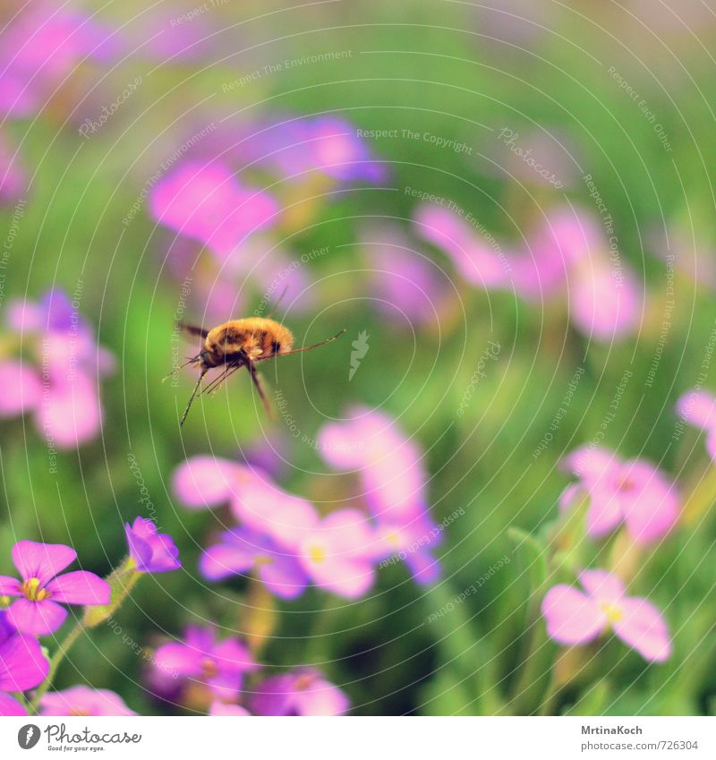 landeanflug. Natur Pflanze Tier Frühling Sommer Wildtier Biene 1 fliegen Blüte bestäuben Rüsselkäfer Insekt Farbfoto Außenaufnahme Nahaufnahme Menschenleer