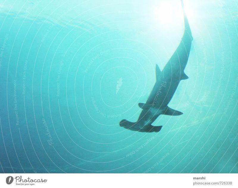 was`n Hammer Tier Wildtier 1 Aggression Gefühle hammerhai Haifisch Raubfisch Meer bedrohlich Angst Schwimmsport Schnorcheln tauchen Farbfoto Außenaufnahme Tag