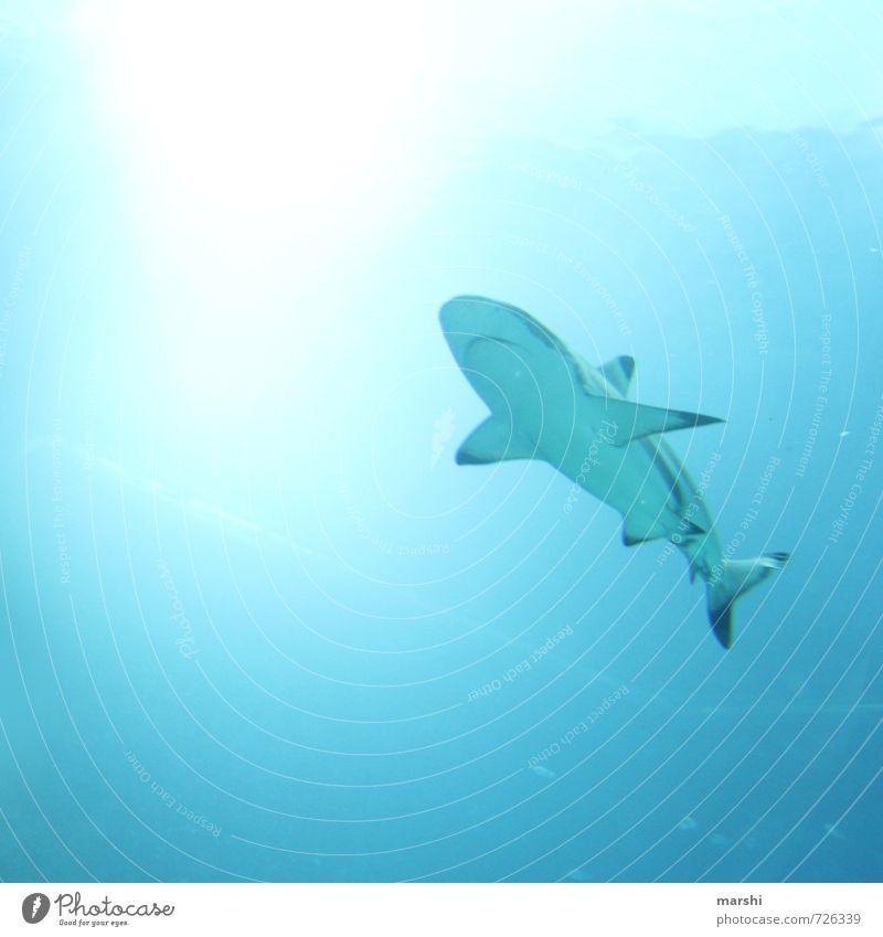 Haitauchen Natur Meer Tier Gefühle Angst Wildtier bedrohlich Abenteuer Tiefenschärfe Aggression Haifisch Schnorcheln Riffhaie