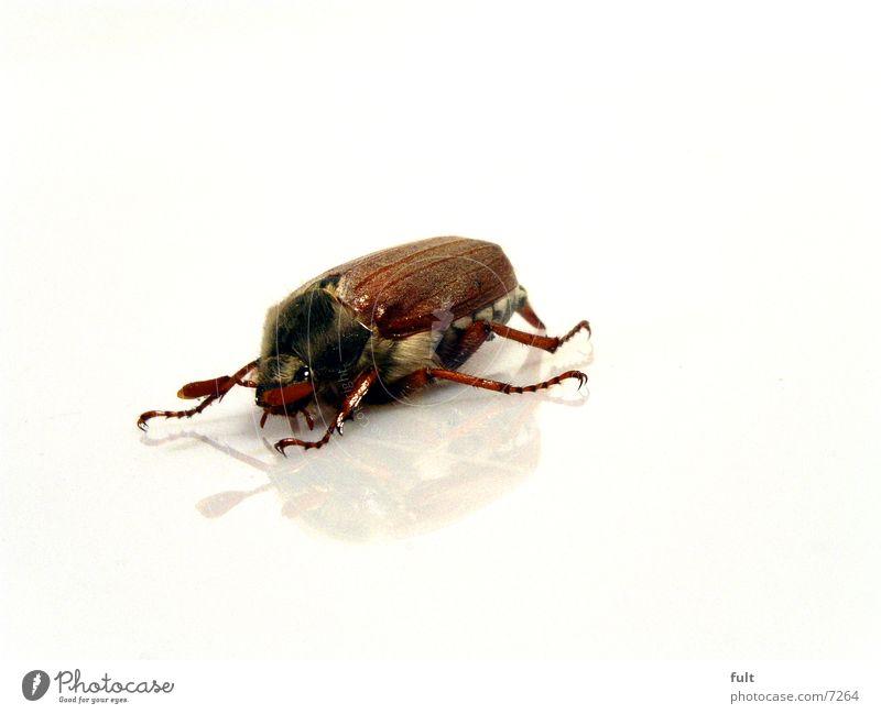 maikäfer Maikäfer Reflexion & Spiegelung Tier braun Wildtier unten weiß Fühler Makroaufnahme Käfer Flügel Haare & Frisuren Auge Nahaufnahme Bodenbelag Beine