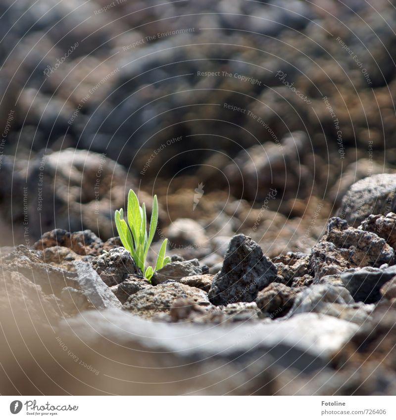 Lebenskünstler auf dem Teide Umwelt Natur Pflanze Urelemente Erde Sonnenlicht Schönes Wetter Felsen Berge u. Gebirge Vulkan hell stark grün schwarz Stein