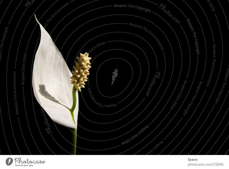 White Orchid weiß Blume Pflanze schwarz Farbe Blüte Orchidee