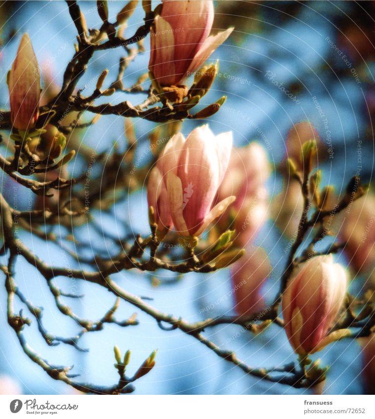 magnolia Magnoliengewächse Baum Blüte rosa Sommer leicht Fröhlichkeit schön Pflanze blau Himmel Blütenknospen Blühend
