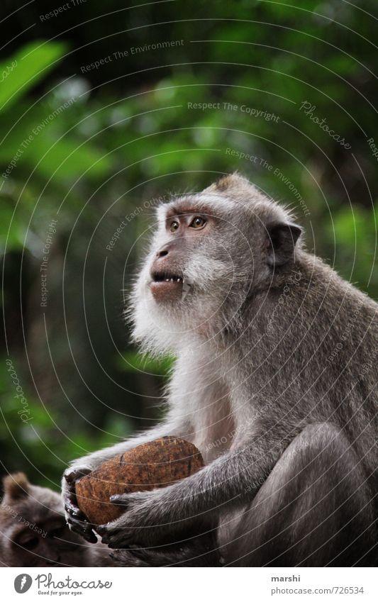 ...wer hat die Kokosnuss geklaut... Natur Tier Wildtier Fell Zoo Streichelzoo 1 Stimmung Affen makaken frech Aggression Bali Reisefotografie wild bedrohlich
