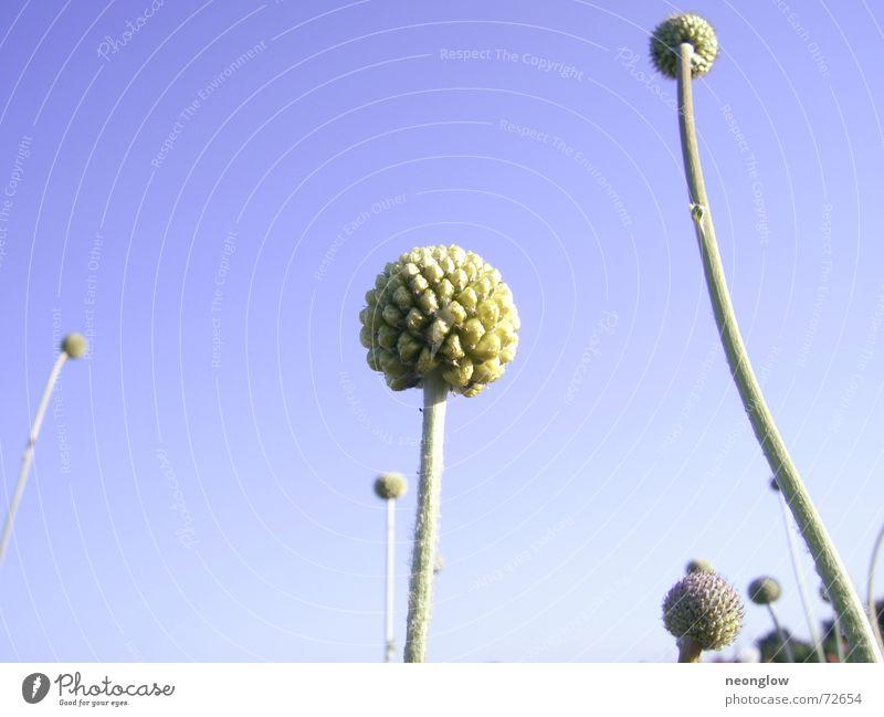 Himmelskugeln blau Pflanze Kugel Stengel Blütenknospen