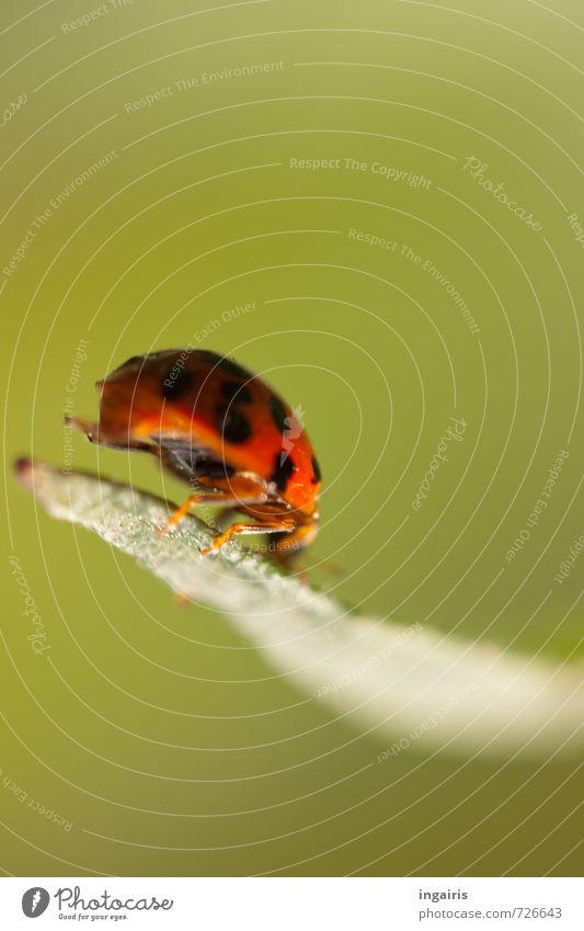 Hoppa Natur Pflanze Tier Blatt Käfer Marienkäfer Insekt 1 Zeichen festhalten hocken krabbeln klein natürlich niedlich grün rot schwarz Glück Bewegung Stimmung