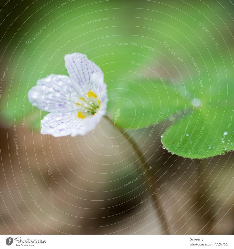 Mal ganz Klee... Natur Pflanze Wasser Wassertropfen Frühling Blume Blatt Blüte Kleeblatt Wald Blühend Duft Wachstum elegant klein nah gelb grün weiß Glück
