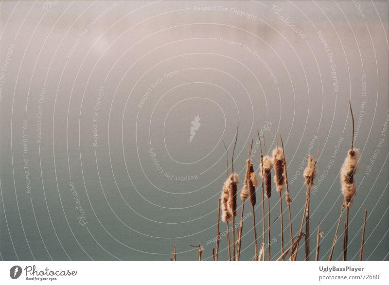 Schilf Wasser Pflanze Sommer Strand ruhig Herbst See Sand Küste Spiegel Schilfrohr Teich Kies Binsen