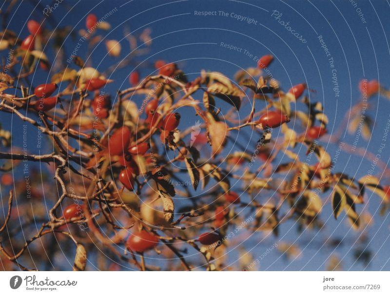 Herbstfarben Kontrast rot Tiefenschärfe Pol- Filter blau Hundsrose