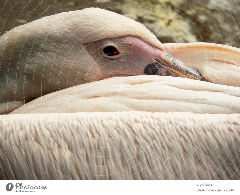 Pelikan erwacht weiß Auge Vogel Haut rosa schlafen Feder Zoo Schnabel aufwachen Pelikan