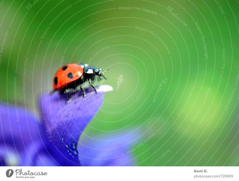 Marienkäfer auf einem Blütenblatt vor grünem Hintergrund Käfer Glück Lebensfreude Hoffnung Farbe mehrfarbig violett Glücksbringer Natur sitzen Insekt