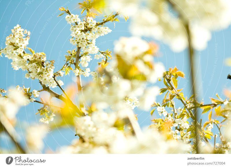 Kirsche Kirschblüten Blüte Blühend Frühling Himmel Froschperspektive Nahaufnahme Detailaufnahme Makroaufnahme Tiefenschärfe Baum Kirschbaum Ast Zweig Blatt