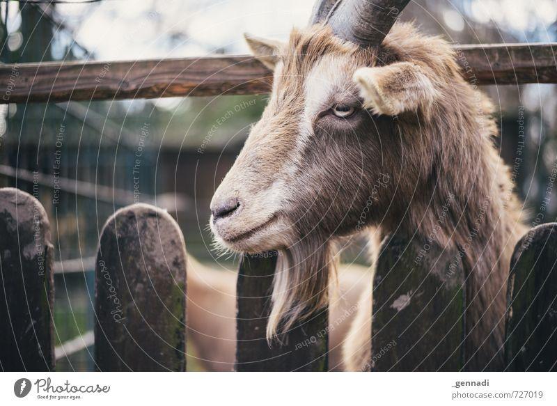 Ich hab wieder Bock drauf Ziegen Ziegenbock 1 Tier trendy tierisch Zaun Lücke Natur Tierporträt Tiergesicht Schwache Tiefenschärfe unlustig Langeweile