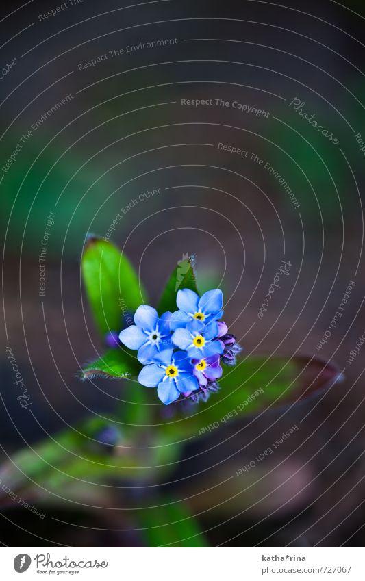 Vergissmeinnicht . ii Pflanze Blume Vergißmeinnicht ästhetisch schön blau braun grün Farbfoto Außenaufnahme Makroaufnahme Menschenleer Textfreiraum oben Tag