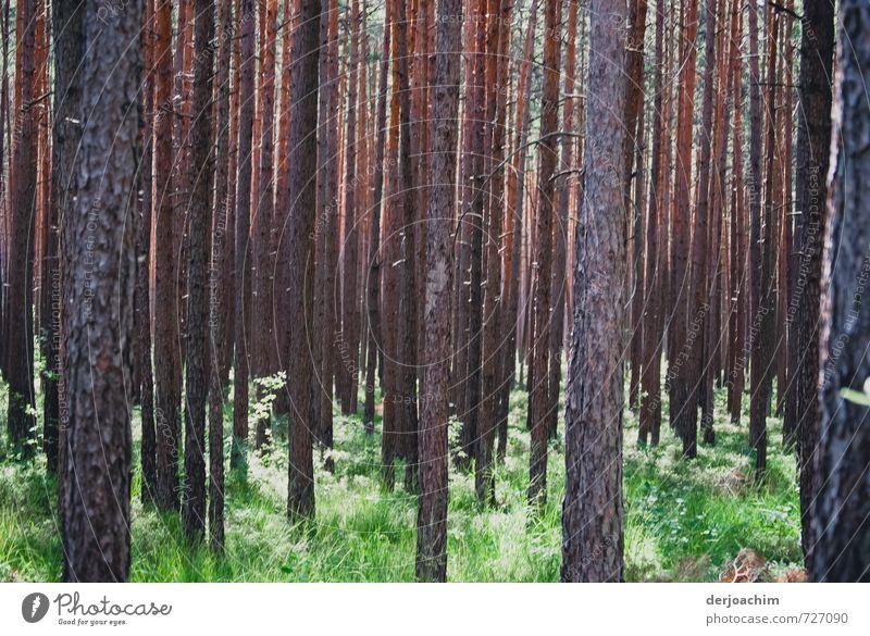 Märchenwald . Ganz viele neben einander stehende Bäume mit viel Grün . Von oben kommt die Sonne durch und läßt alles erleuchten. Glück harmonisch wandern