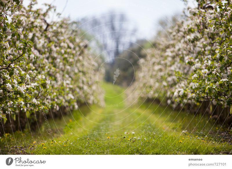 Apfelblütenreihe Frucht Bioprodukte Natur Landschaft Pflanze Frühling Wetter Baum Gras Blüte Nutzpflanze Feld Blühend Wachstum weich mehrfarbig grün Reihe