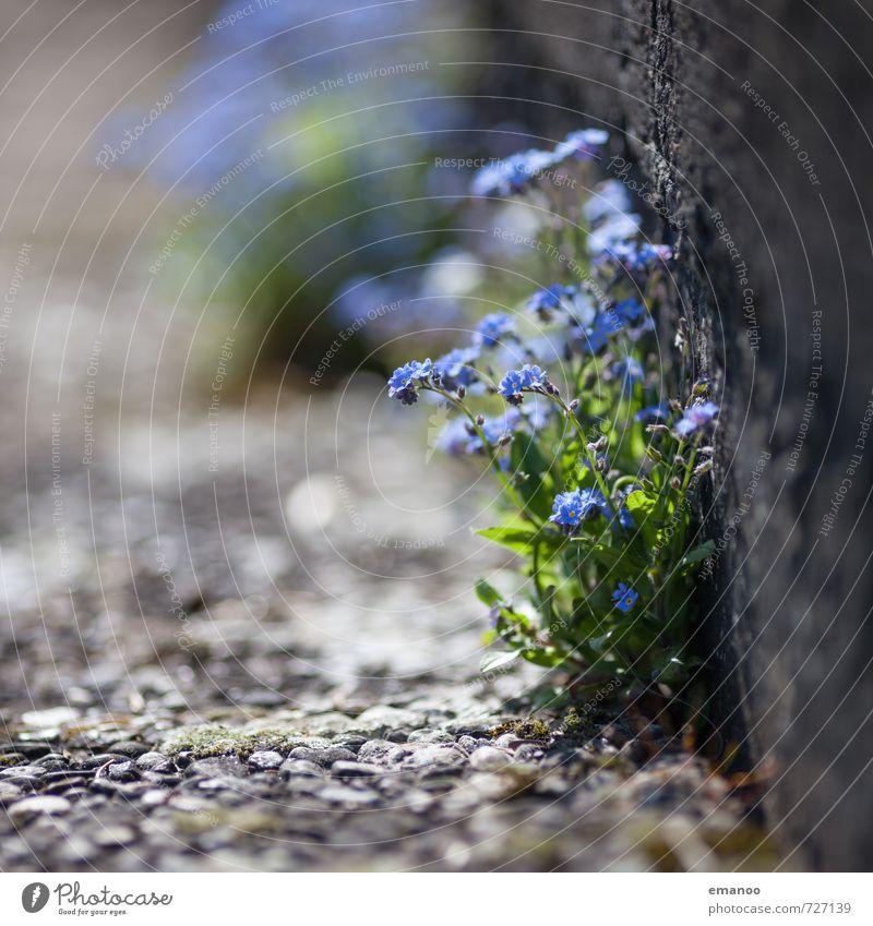 Mauerblümle Natur blau schön grün Pflanze Sommer Blume Wand Leben Frühling Blüte grau Stein Garten Park