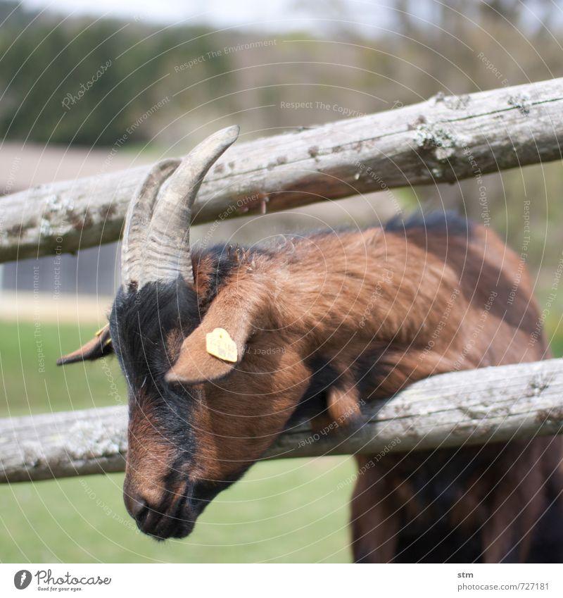 neugier Natur Ferien & Urlaub & Reisen Tier Traurigkeit natürlich Gesundheit Freizeit & Hobby authentisch wandern Ausflug Neugier Fell Zaun Bauernhof Tiergesicht Müdigkeit