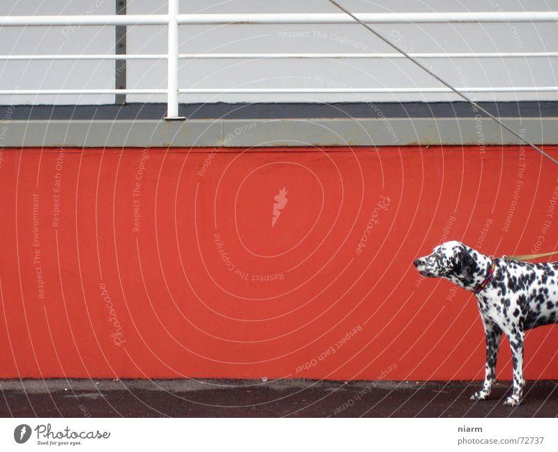 watch out now Hund Wand rot Dalmatiner Erwartung Einsamkeit verloren schwarz weiß gepunktet angekettet rote wand Kontrast obacht beobachten hundeleine Geländer