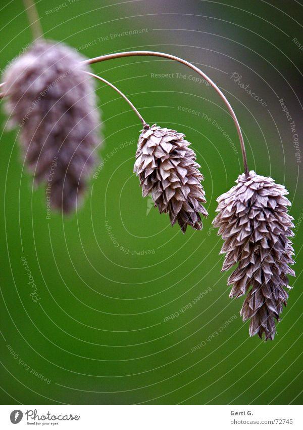 aller guten Dinge sind zwei 2 3 trocken Herbst Quaste hängen Pflanze grün Stengel zierlich zart vielschichtig Blume Vergänglichkeit vergangen einer zuviel