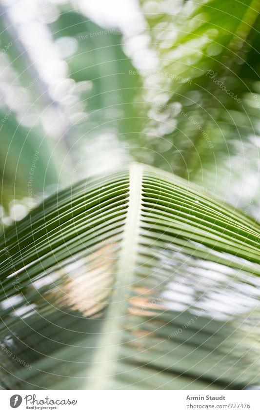 Palmenblatthintergrund Lifestyle Natur Pflanze Sommer Schönes Wetter Baum Blatt Palmenwedel ästhetisch authentisch einfach natürlich grün Stimmung Sehnsucht