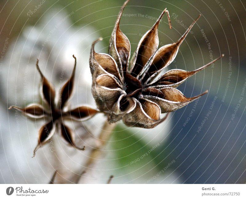 extradry  - in bunt Natur Blume Pflanze Blüte 2 Stern (Symbol) Vergänglichkeit Stengel Vergangenheit Samen vergangen vertrocknet verblüht getrocknet