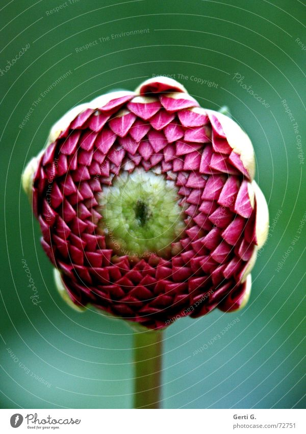 Auge um Auge grün Blume Blüte rosa Mitte Blütenknospen zentral Mittelpunkt