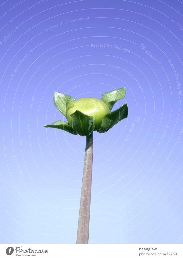 Sonnenanbeter Himmel Blume Stengel Blütenknospen Schwärmerei